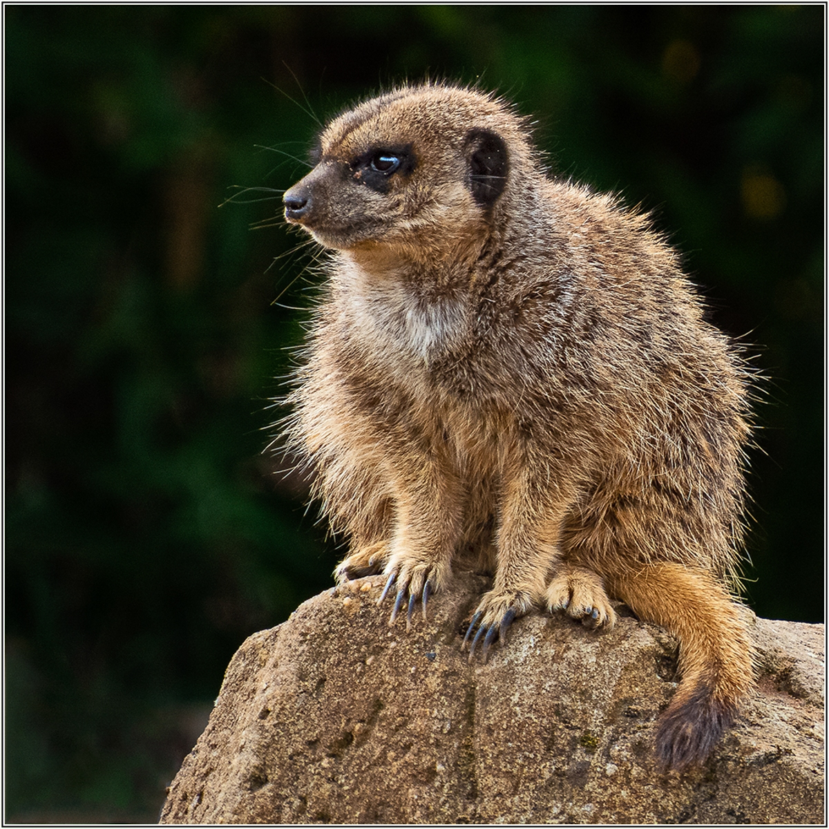 1st - Meercat by Martin Cassell