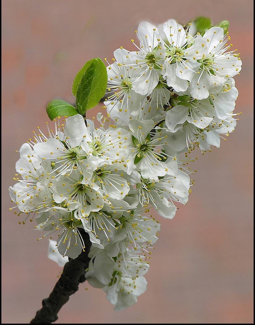 1st - Pear Blossom